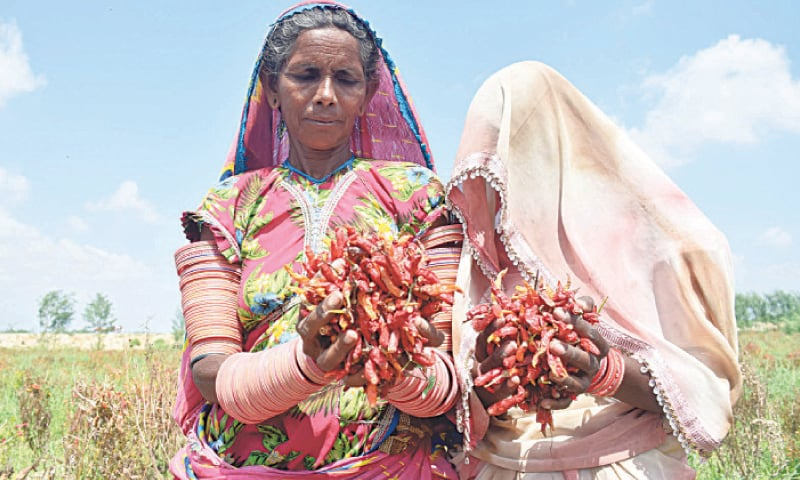 Two peasant women hold their harvested green chillies in a field in Mirpurkhas.—Photo by Umair Ali
