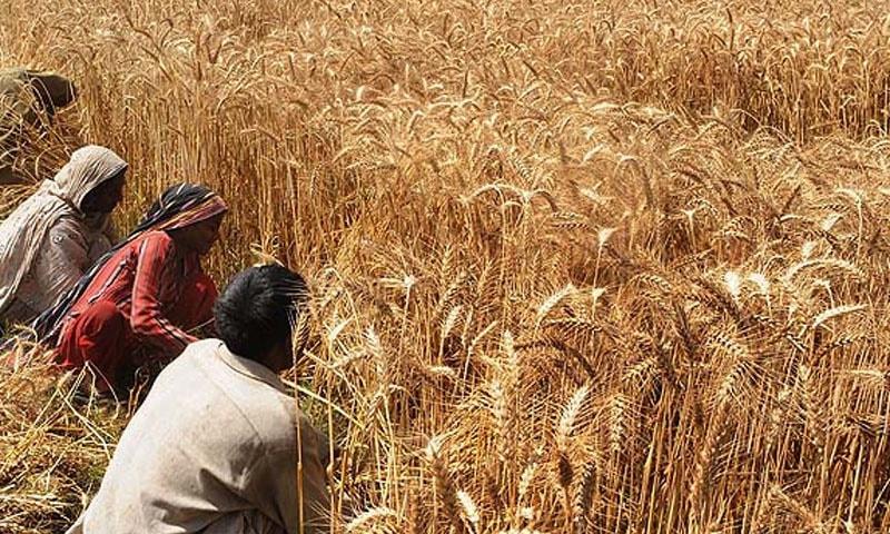 ای سی سی کا گندم کی امدادی قیمت میں 25 فیصد اضافہ کرنے سے گریز