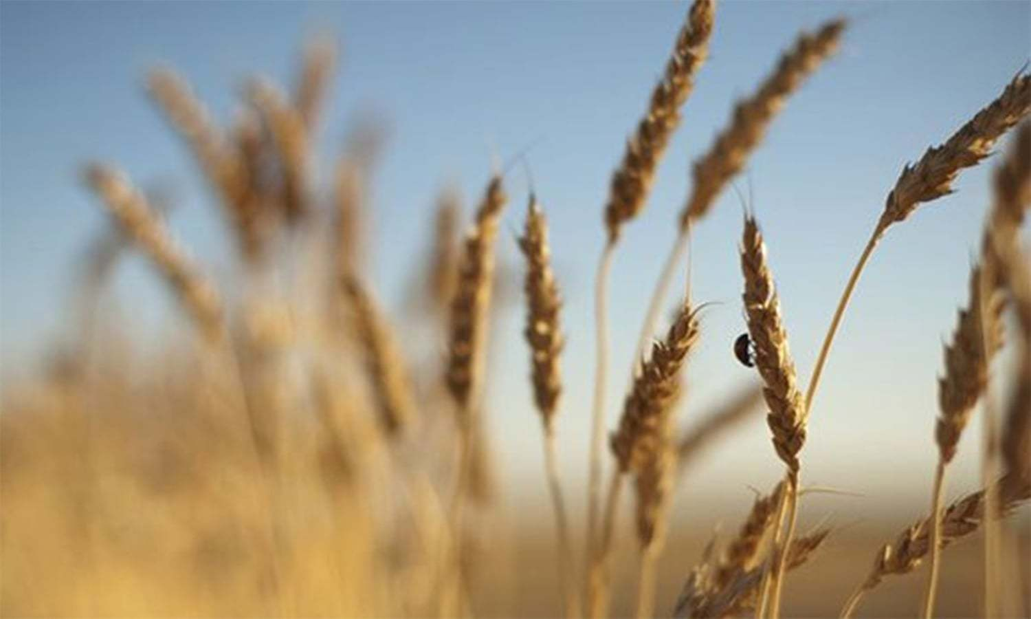 Rs1,600 minimum support price recommended for wheat
