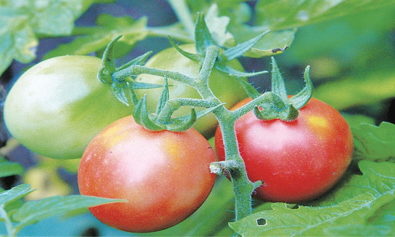 Juicy tomatoes   Photos by the writer