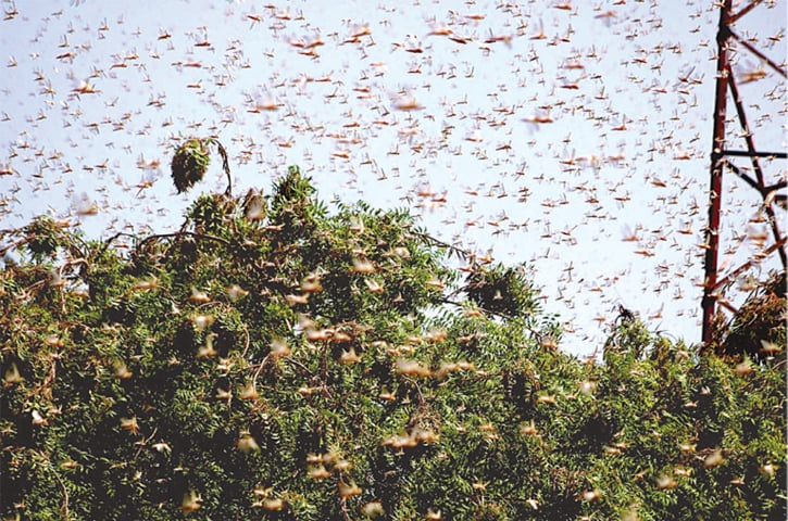 HYDERABAD: A locust swarm is seen in this file photo.—APP