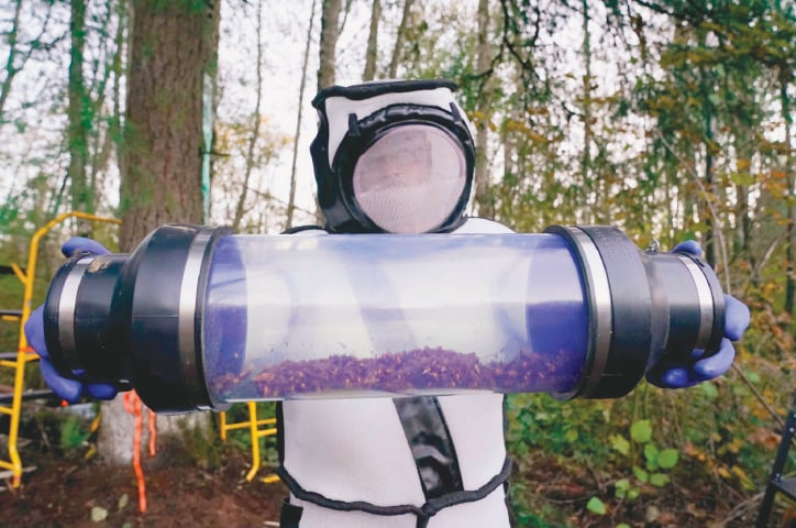 Blaine (Washington, US): Sven Spichiger, an entomologist, displays a canister of Asian giant hornets vacuumed from a nest in a tree behind him.—AFP