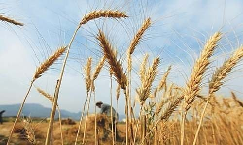 ای سی سی اجلاس میں روس سے 3 لاکھ 20 ہزار ٹن گندم کی رواں سال کی تمام درآمدات کی اعلی ترین قیمت پر درآمد کرنے کی بھی اجازت دی گئی۔ - فائل فوٹو:رائٹرز