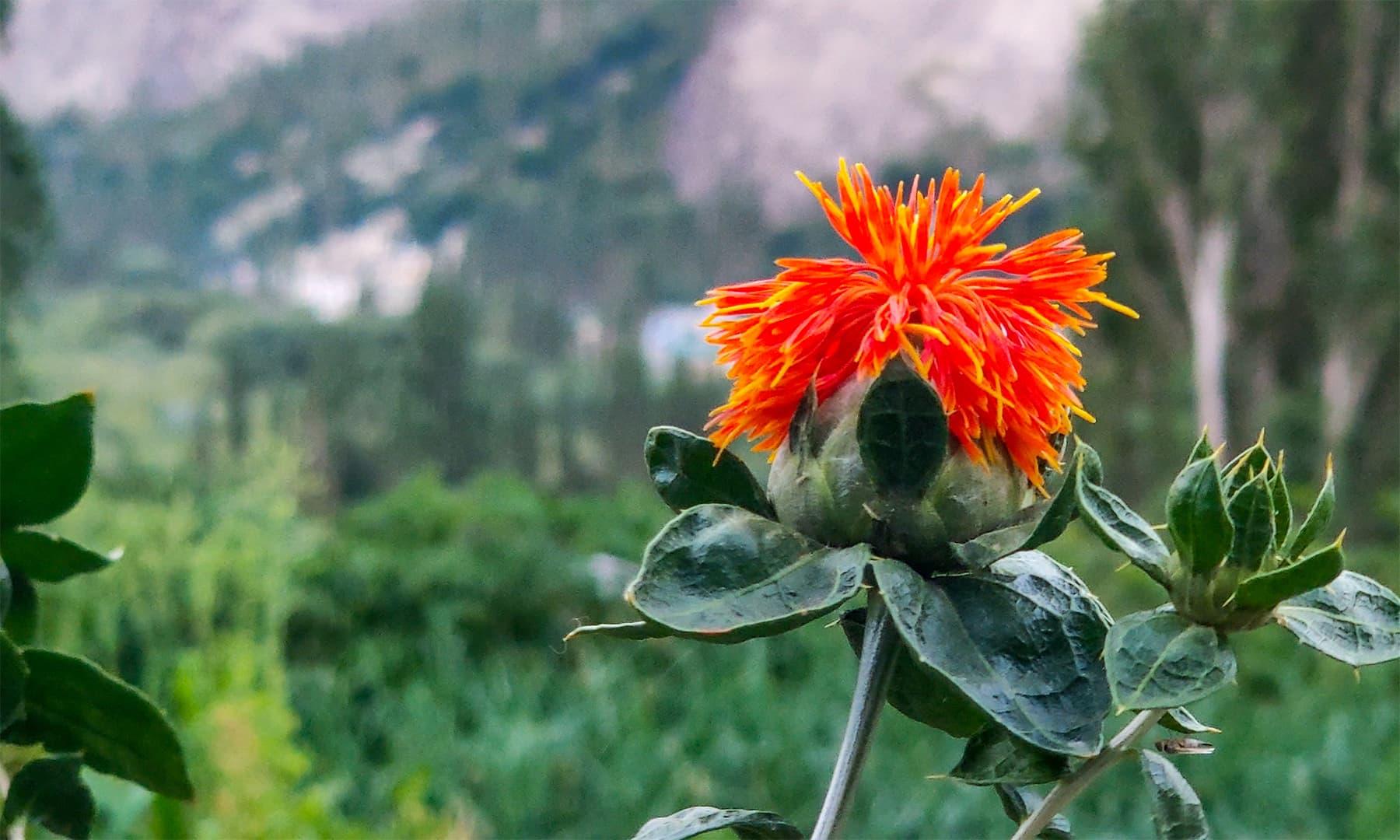 زعفران کو بلتستان میں عموماً قہوہ میں استعمال کیا جاتا ہے