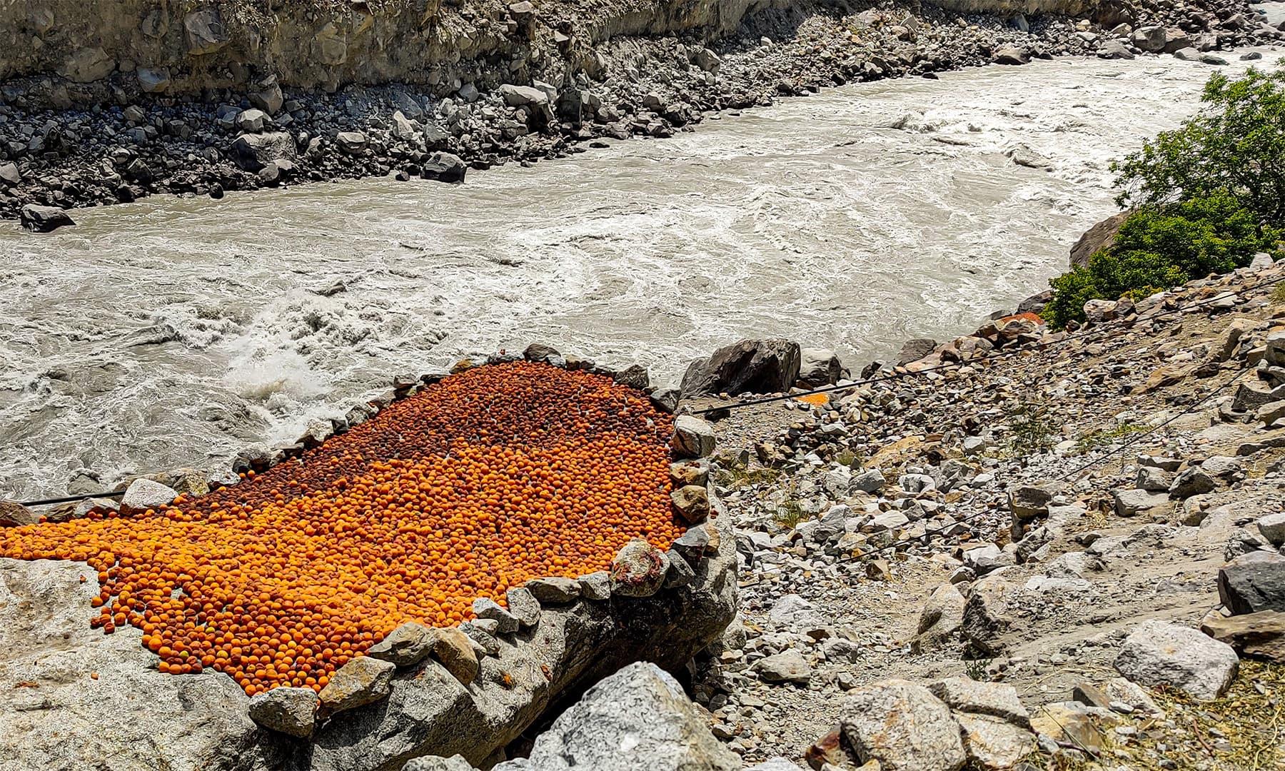 دریائے سندھ اور پتھر کی بڑی سل پر سوکھتی ہوئی خوبانیاں