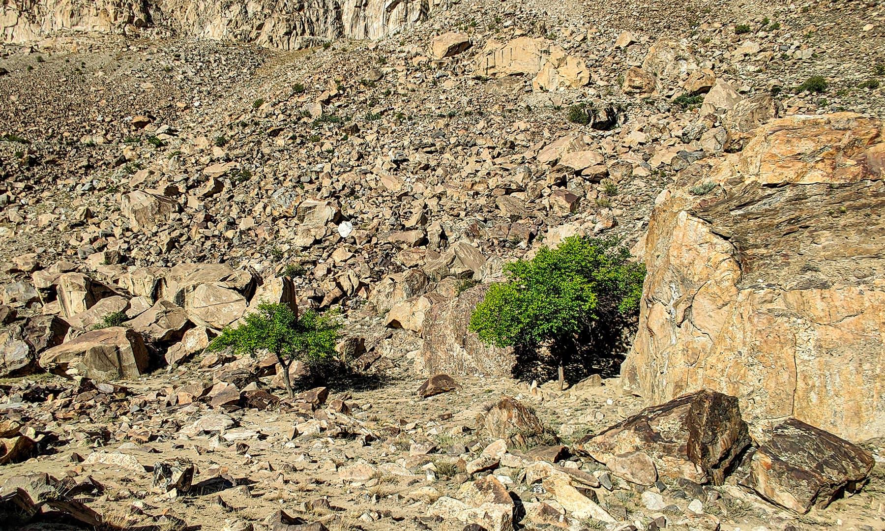 راہ چلتے ہوئے دیسی خوبانی کے درخت