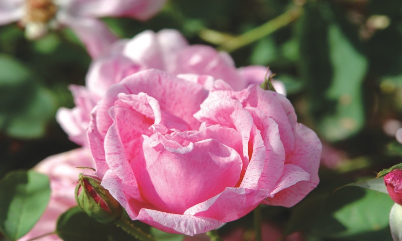 Gloriously fragrant rose