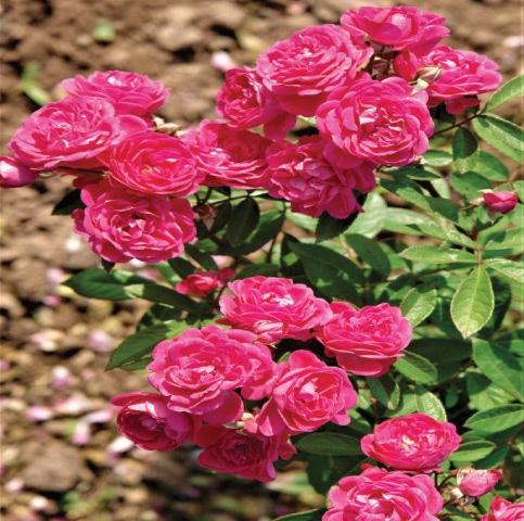 Stunning climbing roses
