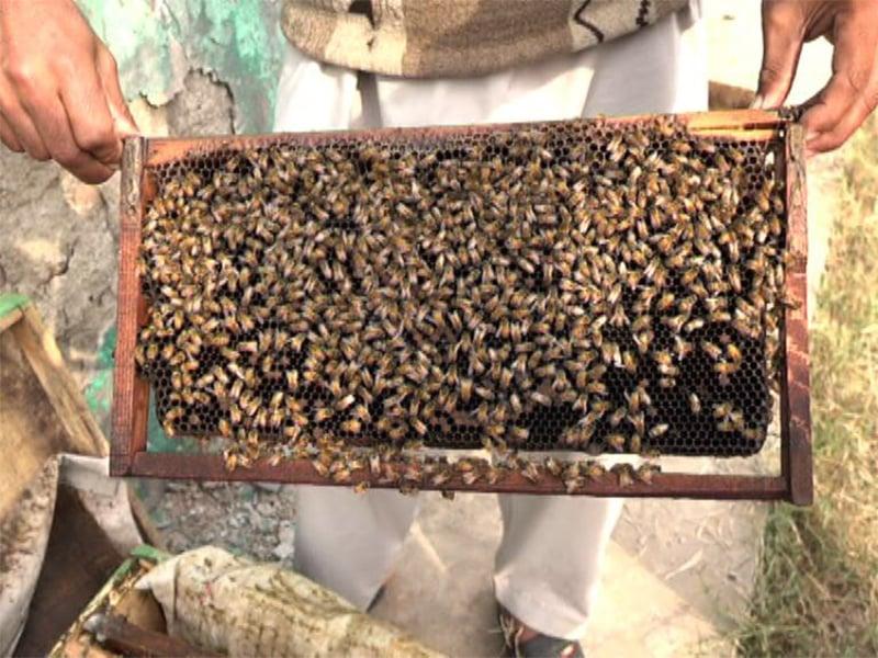 مکھیوں کو بیماری لاحق ہونے کی وجہ سے بی کیپرز کو شدید نقصان ہوا ہے