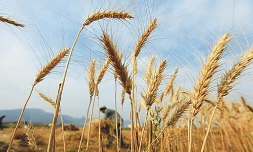 The Ministry of National Food Security and Research said on Thursday that seven vessels carrying around 400,000 tonnes of wheat will dock at Karachi port this month. — Reuters/File