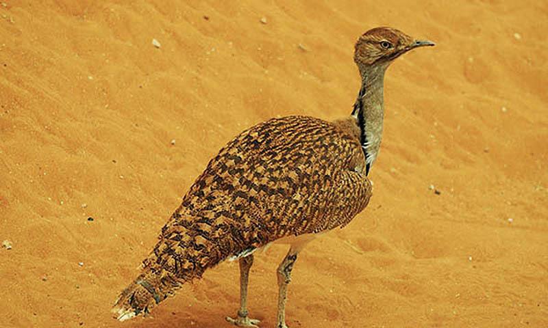 پاکستان میں پایا جانے والا نایاب پرندہ تلور—فائل فوٹو: اے ایف پی
