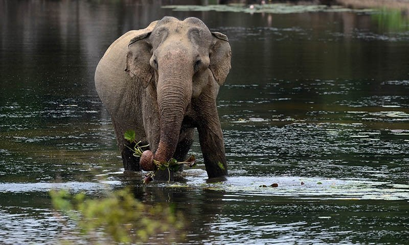 A controversy concerning the import of elephants for a zoological garden in Pakistan has landed in the Supreme Court. — File photo
