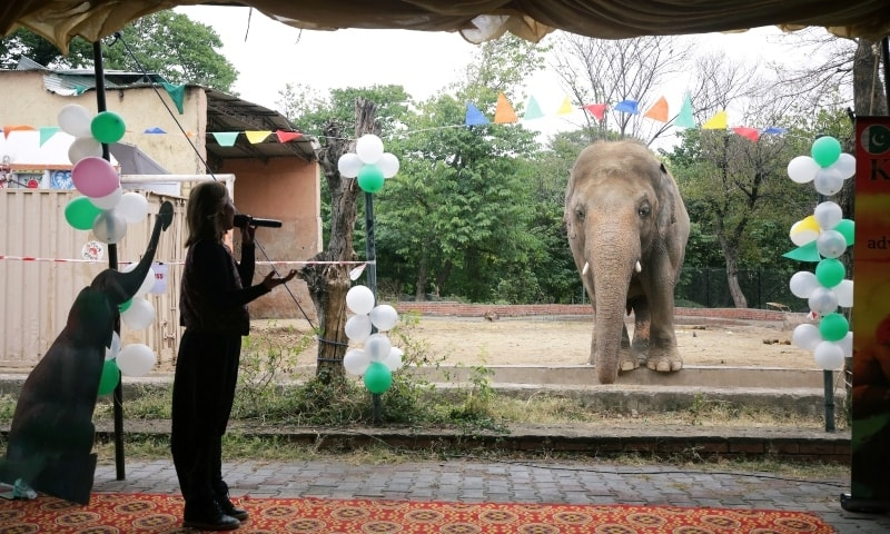 Kaavan the elephant is seen during a farewell ceremony at the Marghazar Zoo in Islamabad, November 23. — Reuters