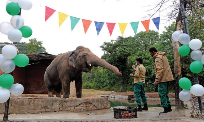 An IWMB official feeds Kaavan during a farewell organised for the animal on Monday. The other picture shows singer Natasha Baig performing on the occasion. — Photos by Mohammad Asim