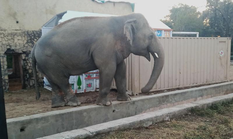 ہاتھی کو نیم بے ہوشی کی حالت میں خصوصی پنجرے میں منتقل کیا گیا —فوٹو: اسلام آباد چڑیا گھر