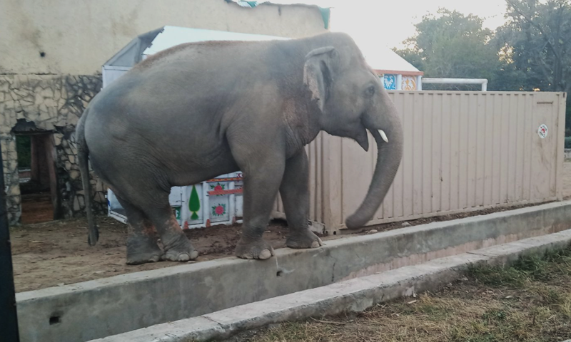 Kaavan is seen in Islamabad's Marghazar Zoo before being loaded into a cage. — Photo courtesy Islamabad Zoo Friends Twitter