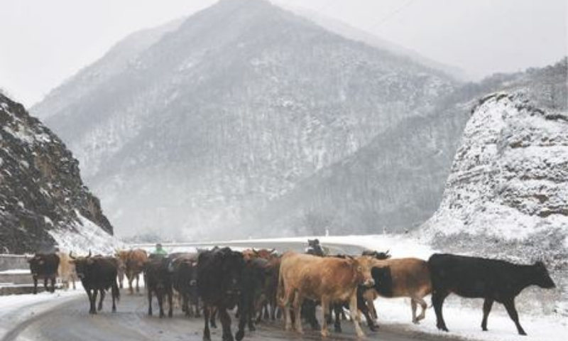 Two herdsmen lead a herd of cows along a road outside the town of Lachin on Sunday after six weeks of fighting between Armenia and Azerbaijan over the disputed Nagorno-Karabakh region. — AFP