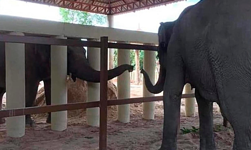 Kaavan, an Asian elephant, extends its trunk from behind white posts to reach out to another elephant at the Kulen Prom Tep Wildlife Sanctuary Tuesday, Dec 1, in Oddar Meanchey, Cambodia. — Four Paws via AP