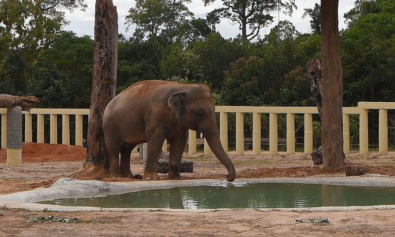 Newly arrived Kaavan drinks water in his new enclosure at the Kulen Prom Tep Wildlife Sanctuary in Cambodia's Oddar Meanchey province on December 1. — AFP