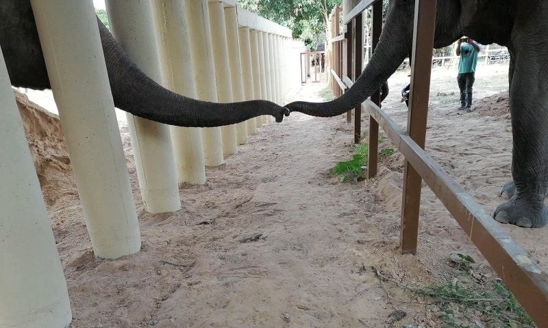 Kaavan the elephant touches trunks with another elephant at a sanctuary in Oddar Meanchey Province, Cambodia, December 1. — Four Paws via Reuters