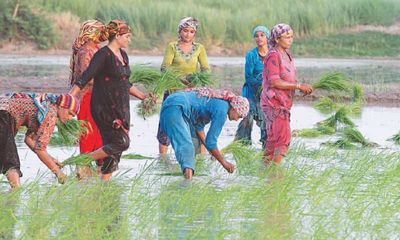 Farmers sowing basmati paddy in a field. Pakistan is one of the top five rice exporting countries in the world.