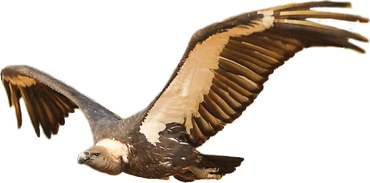 An Oriental White-backed vulture, found in Nagarparkar