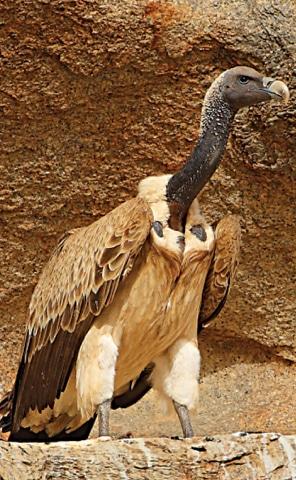 A Long-billed vulture | Photos by WWF-Pakistan / Zahoor Salmi