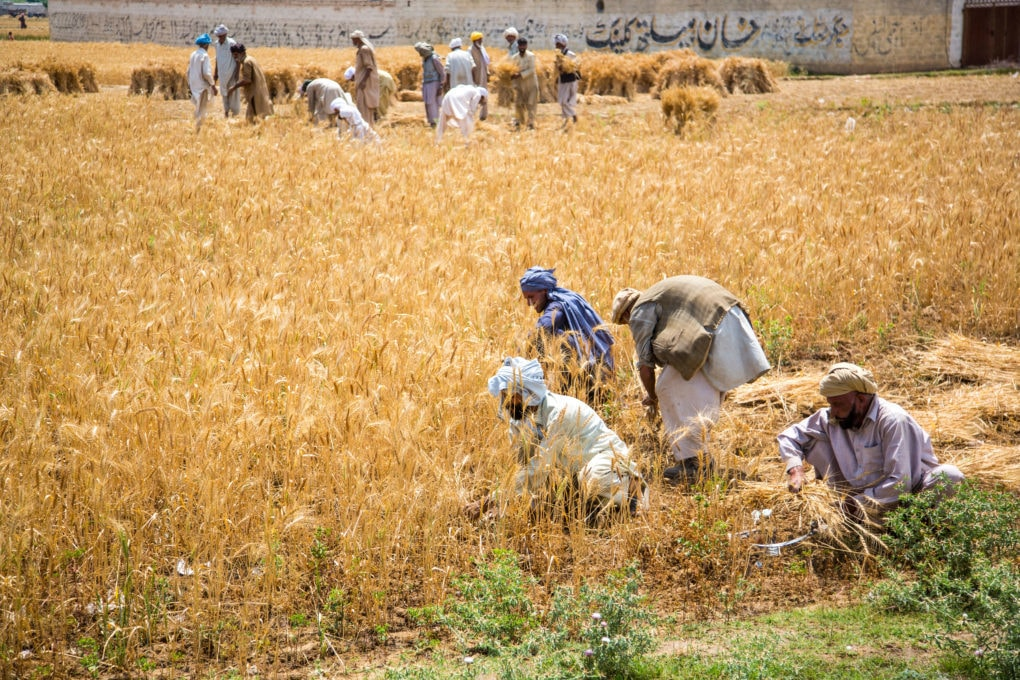 Grain is harvested in Punjab province. In 2019/20, the amount of wheat harvested missed the targeted production by 1.5 million tonnes. — Photo by Marcia Chambers/Alamy