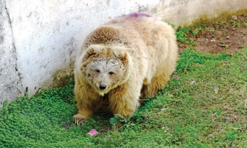 One of the two Himalayan bears at Marghazar Zoo. — File photo