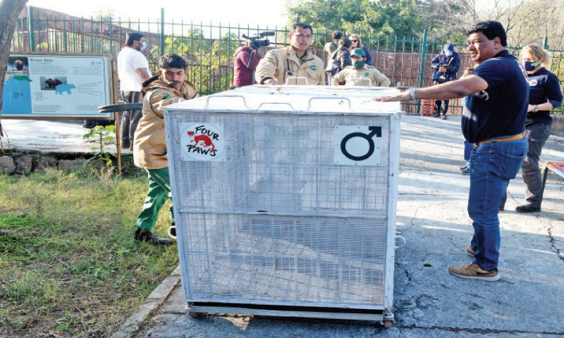 Dr Amir Khalil of Four Paws and IWMB personnel take a transport cage to the bears enclosure at Marghazar Zoo on Wednesday. — White Star