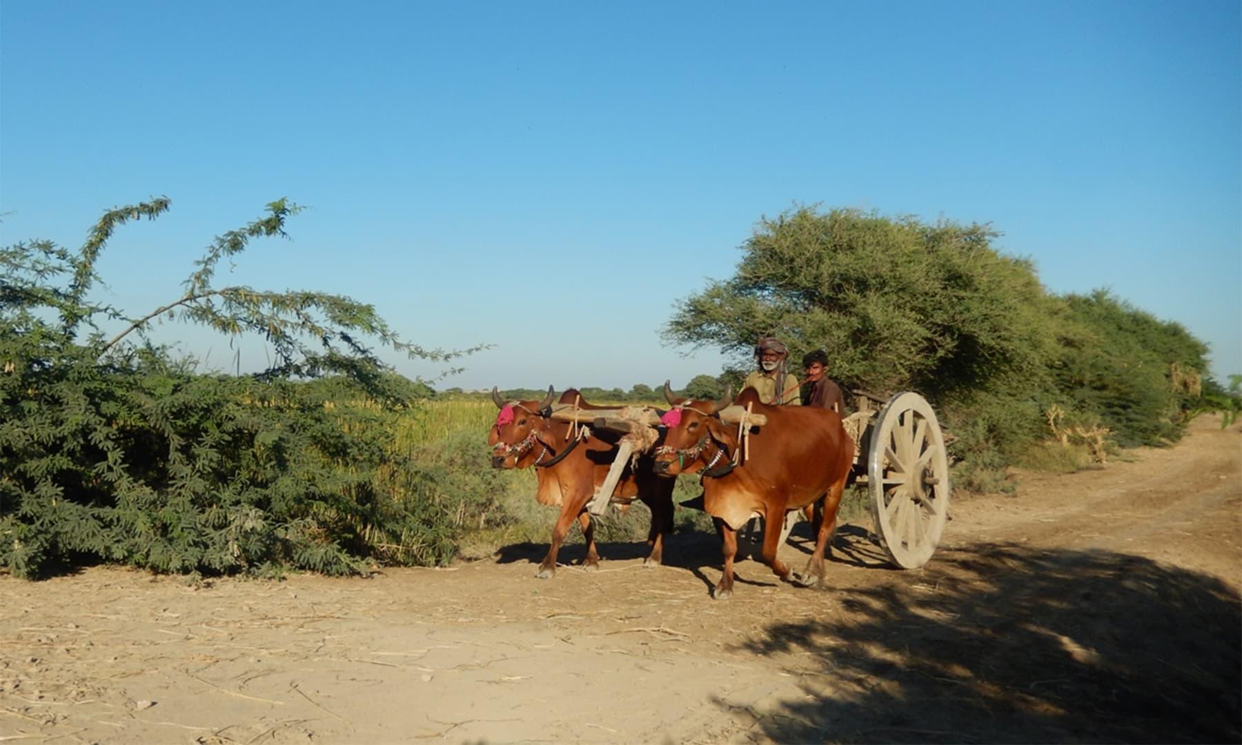 ہمیشہ 2، 3 بیل گاڑیاں ساتھ سفر کیا کرتی تھیں