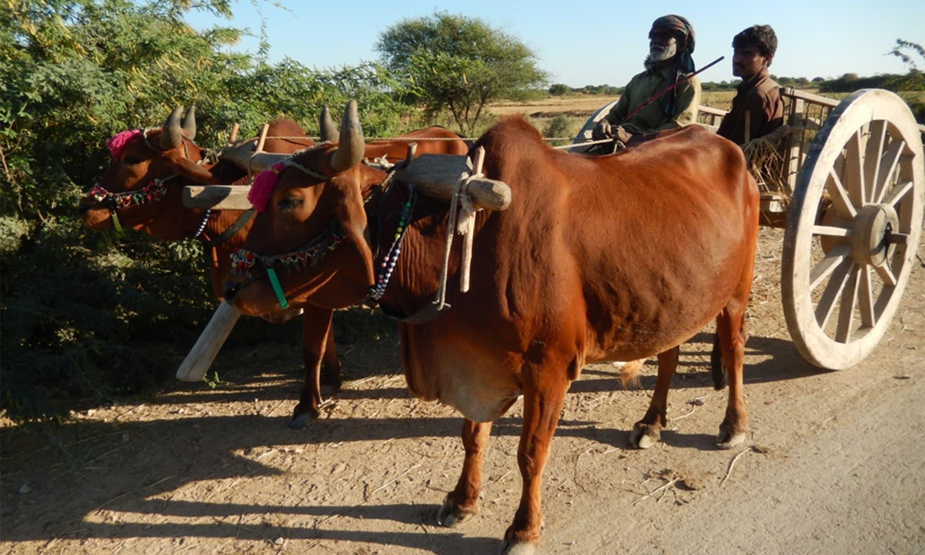 کسی زمانے میں بیل گاڑی اور صحت مند بیلوں کا جوڑا 2 سو روپے میں ملتا تھا