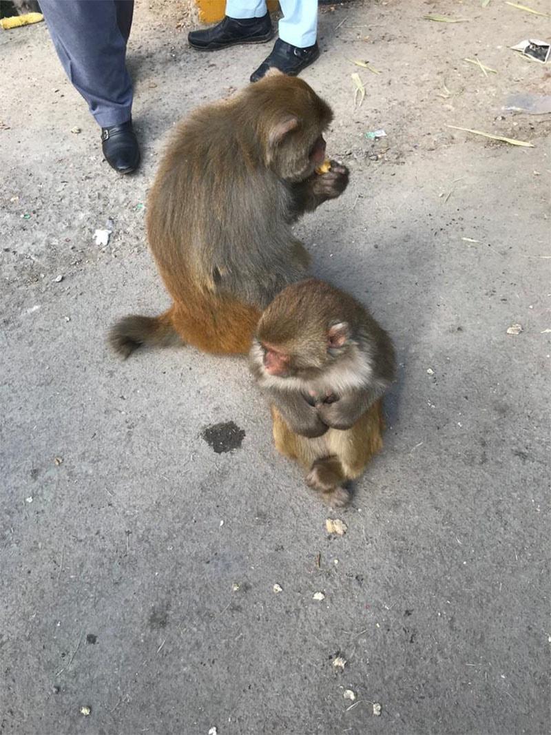 نتھیا گلی کے بندر