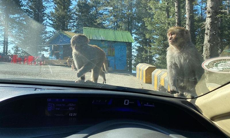 آپ گاڑی روکیں گے تو یہ بندر گاڑی پر سوار ہوجائیں گے اور شیشوں پر لٹکیں گے