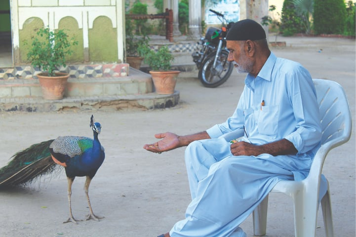 Ghulam Hyder Laghari with one of his peacocks