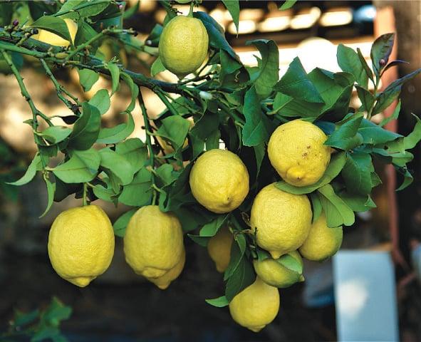 Lemons on the bough