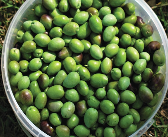 Green olives | Photos by the writer