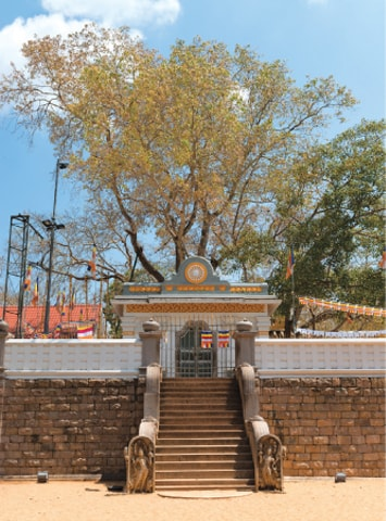The Sri Maha Bodhi in the Mahamewna Gardens, Anuradhapura, Sri Lanka, is a sacred fig tree and the oldest living tree with a known planting date