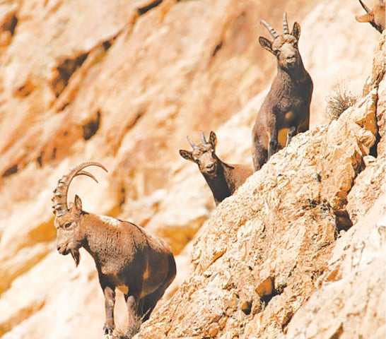 A group of ibex photographed in Gilgit-Baltistan's Khyber valley.