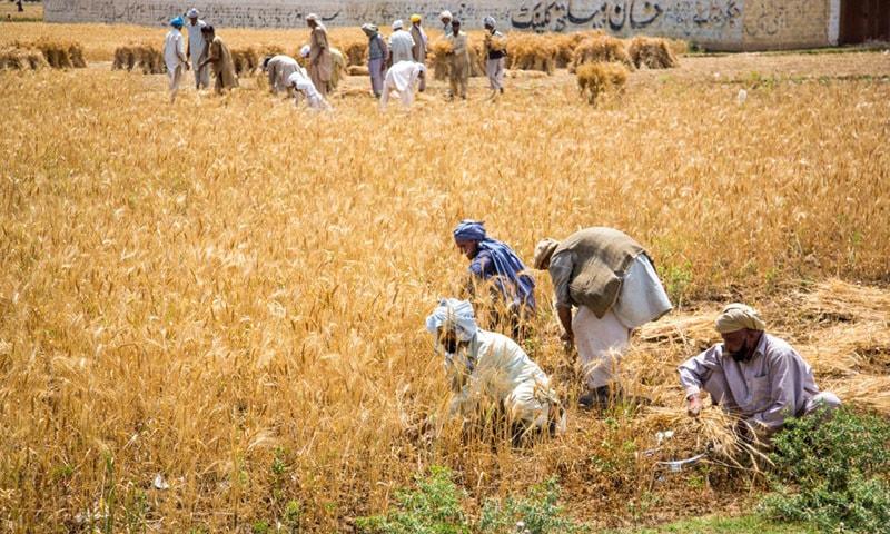 'ہم نے گزشتہ سال گندم کی فصل پر فی ایکڑ 8 سے 10 ہزار روپےکا نقصان برداشت کیا، لیکن کسان کےمفادات کا خیال رکھنے والا کوئی نہیں ہے'۔