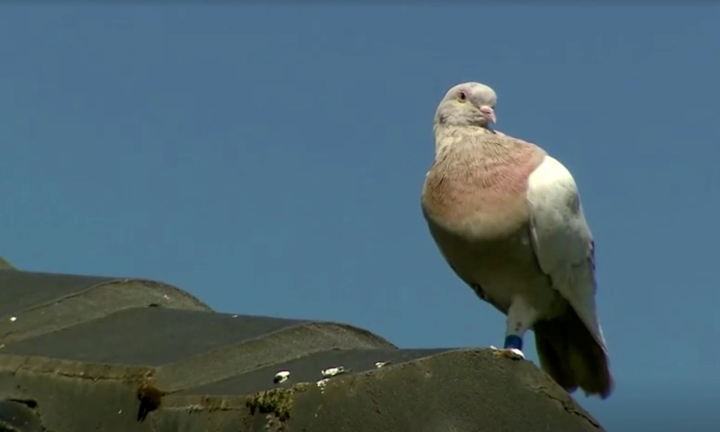 """""""Joe"""", a pigeon that reached Australia from the US, perches on the roof of a house in Melbourne on Jan 15. — Reuters"""