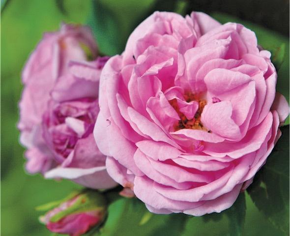 Desi rose