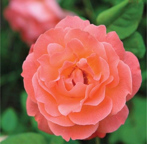 Floribunda — Peach blush
