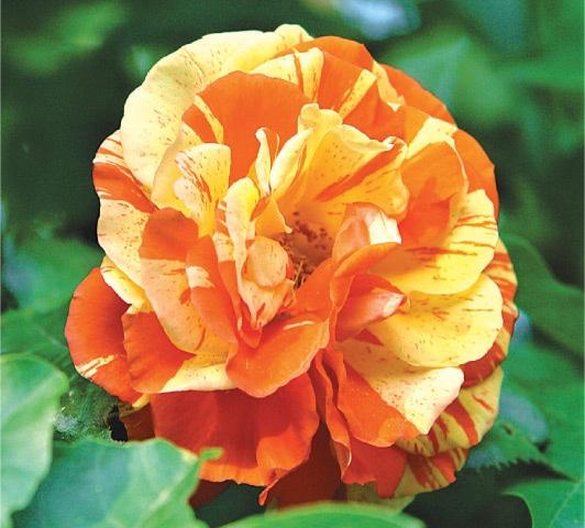 Floribunda — Orange minstrel