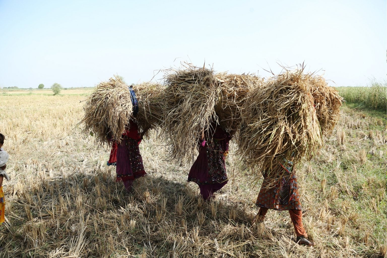 Landless women farmers collecting rice straw from field areas, near village Khan Muhammad Panhwar, district Hyderabad. — Photo by Manoj Genani