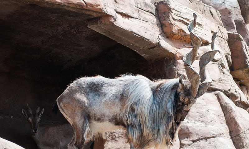 A markhor is seen in this file photo.