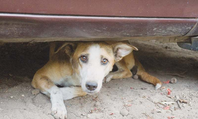 City managers on Monday decided that there will be no more dog shootings in Islamabad. ─ Photo by Hunaira Mobin