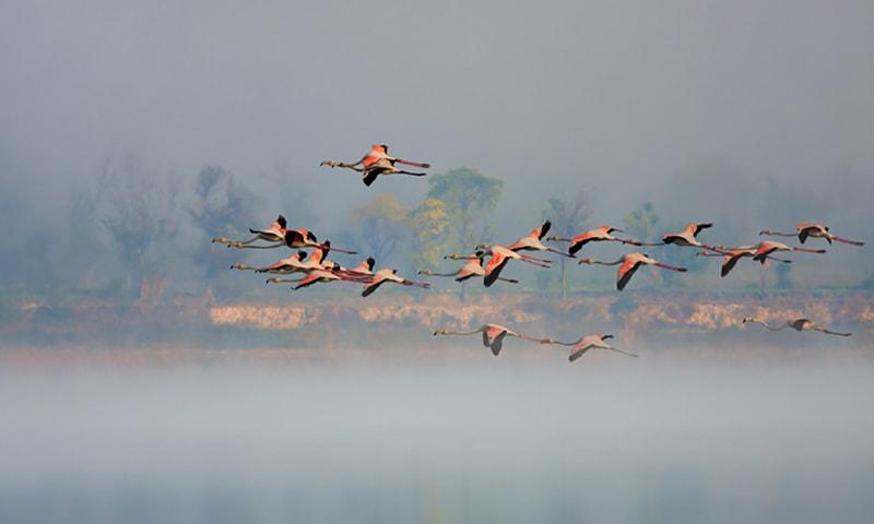 اچھالی جھیل پر محو پرواز پرندے—تصویر بشکریہ ڈبلیو ڈبلیو ایف