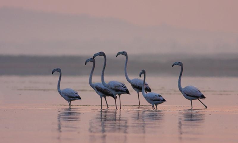 اچھالی جھیل پر لم ڈھینگ (فلیمنگو)—تصویر بشکریہ ڈبلیو ڈبلیو ایف