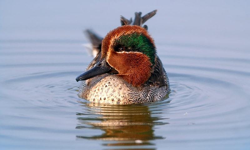 اچھالی جھیل پر ایک مرغابی—تصویر بشکریہ ڈبلیو ڈبلیو ایف